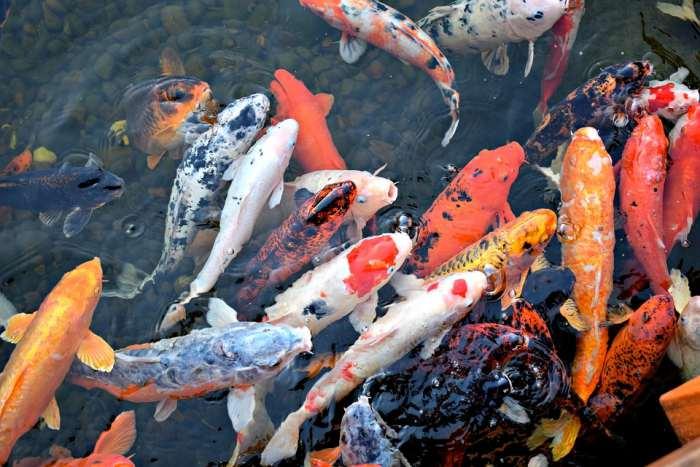 Ikan Koi - Ikan Hias Kolam yang mudah dipelihara
