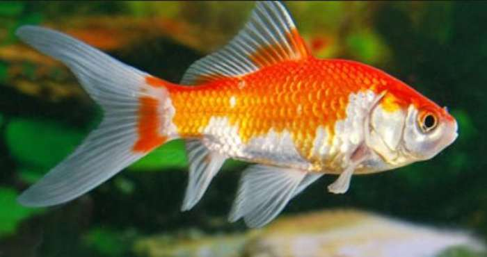 Ikan Hias Komet - Ikan Hias Kolam Air Tawar