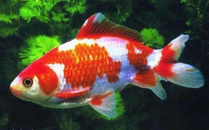 Ikan Wakin - Ikan Hias Kolam Air Tawar