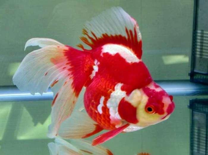 Ikan Hias Mas Koki - Ikan Hias untuk Kolam