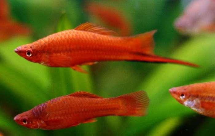 Ikan Pedang - Ikan Hias Kolam yang mudah dipelihara