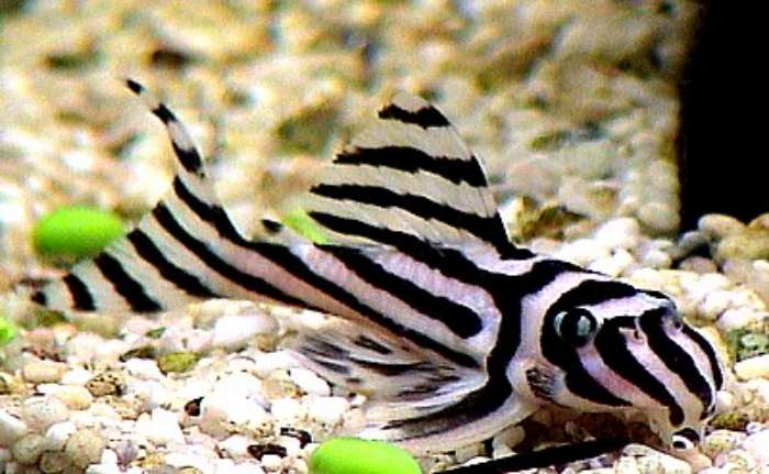 Ikan Hias Sapu-Sapu - Ikan Hias untuk Kolam Air Tawar