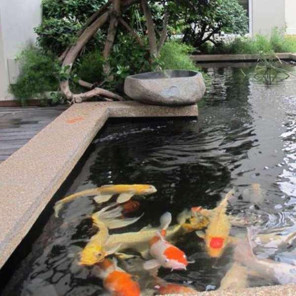 Ikan Hias untuk Kolam yang mudah dipelihara