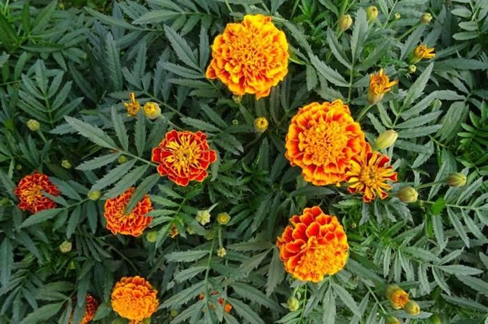 Marigold - Tanaman Pengusir Nyamuk Alami