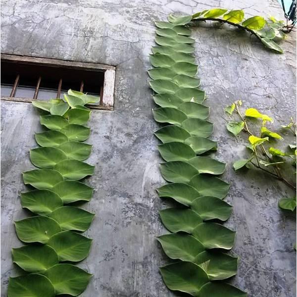 Jenis tanaman hias rambat